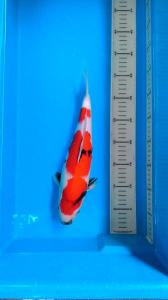 132-SANURA KOI-SANWIK-DENPASAR-Showa 34cm female