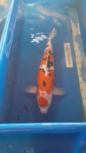 164-Oki Bali-Sanke-55cm