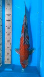 122-SANURA KOI-SANWIK-DENPASAR-Ochiba 49cm male