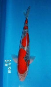 212-Arashi Koi-Tanah Paser Kalimantan-Nirwana Sidoarjo Koi-Sidoarjo-Goshiki-45cm-Male
