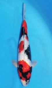 421-Dogama Jr.-Jakarta-Twin Koi-Garut-Kinginrin A-35 cm