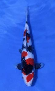 541-Made Bagus Dicky Bali-JB Koi-Showa-37cm