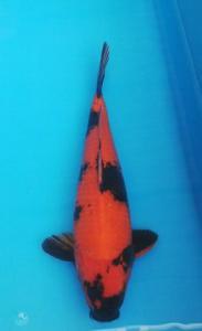 232-Santoso San-Surabaya-Nirwana Sidoarjo Koi-Sidoarjo-Hi Utsuri-45cm-Female