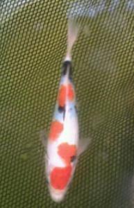 233-Santoso San-Surabaya-Nirwana Sidoarjo Koi-Sidoarjo-Showa-20cm-Female