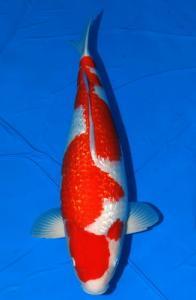 422-Dogama Jr.-Jakarta-Twin Koi-Garut-Kinginrin A-65 cm