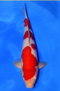 395-TT KOI malang -TT KOI malang -khohaku 53 cm male