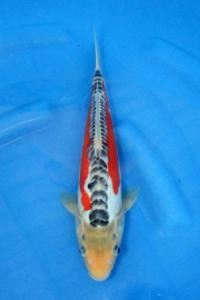 428-Mang Goes Ubud-Bali-Twin Koi-Garut-Shusui-34 cm