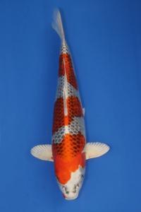 401-TT KOI malang -TT KOI malang kujaku 52 cm