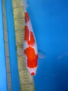 487-rudi-quinkoi-solo-kohaku-27cm-male